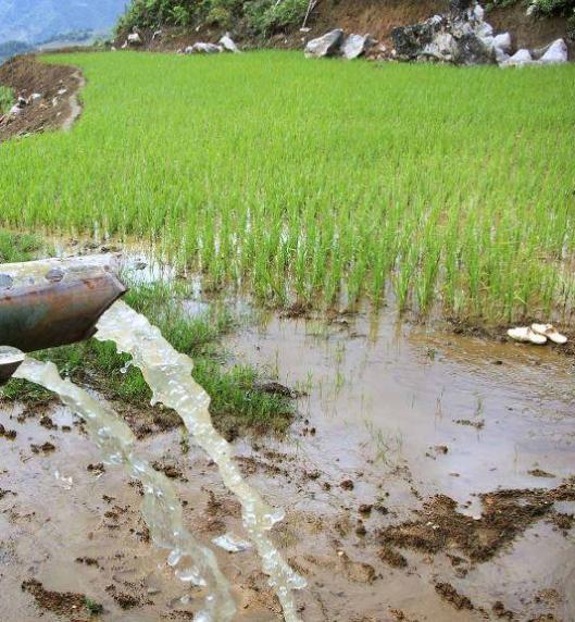 Rice 2-Agricinghana